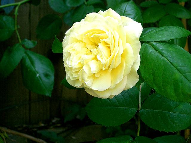 Yellowrose09