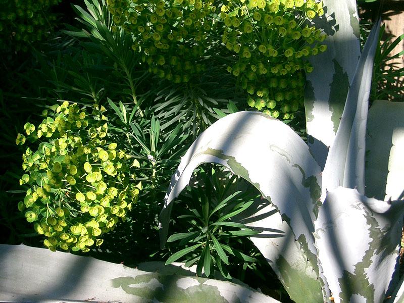 Euphorbia_franz