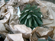 agave attenuata red margi